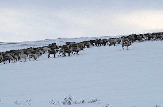 Пострадавшим отсибирской язвы семьям оленеводов восстановили чумы истада